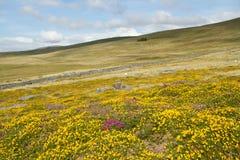 Flores do Gorse e da urze. fotos de stock royalty free