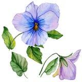 Flores do grupo botânico bonito folhas azuis e roxas da viola e Fotografia de Stock