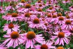Flores do Helenium Fotos de Stock Royalty Free