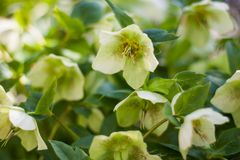 Flores do hellebore verde na flor completa foto de stock