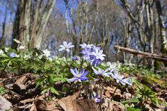 Flores do hepatica do Anemone fotografia de stock royalty free