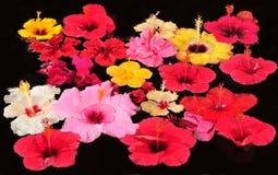 Flores do hibiscus Fotografia de Stock Royalty Free