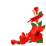 Flores do hibiscus Imagem de Stock Royalty Free