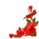 Flores do hibiscus