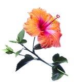 Flores do hibiscus Imagem de Stock