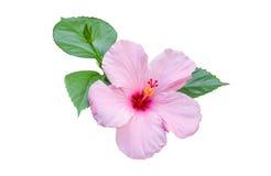 Flores do hibiscus Fotos de Stock Royalty Free