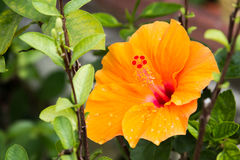 Flores do hibiscus Foto de Stock Royalty Free