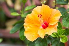 Flores do hibiscus Fotos de Stock