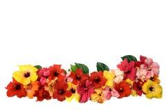Flores do hibiscus Imagem de Stock Royalty Free