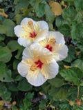 Flores do hibiscus Imagens de Stock Royalty Free