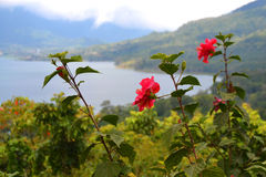 Flores do hibiscus com uma vista do lago e da floresta Fotos de Stock Royalty Free