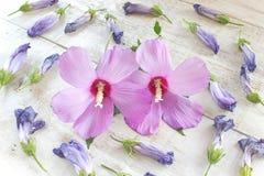 Flores do hibiscus e pétalas murchadas no fundo de madeira branco Imagem de Stock