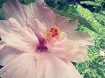 Flores do hibiscus - flor cor-de-rosa Imagens de Stock Royalty Free