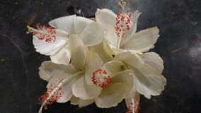 Flores do hibiscus, hibiscus, malva cor-de-rosa Fotografia de Stock Royalty Free