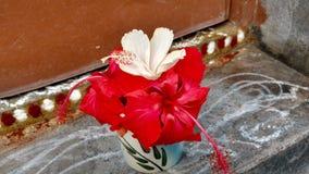 Flores do hibiscus, hibiscus, malva cor-de-rosa Fotos de Stock Royalty Free