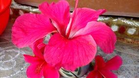 Flores do hibiscus, hibiscus, malva cor-de-rosa Fotos de Stock
