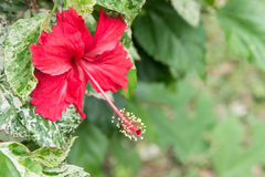 Flores do hibiscus, rainha de Chaba das flores tropicais crescidas frequentemente ou Imagem de Stock