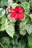 Flores do hibiscus, rainha de Chaba das flores tropicais crescidas frequentemente ou Fotos de Stock Royalty Free