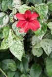 Flores do hibiscus, rainha de Chaba das flores tropicais crescidas frequentemente ou Foto de Stock Royalty Free