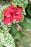 Flores do hibiscus, rainha de Chaba das flores tropicais crescidas frequentemente ou Fotografia de Stock Royalty Free