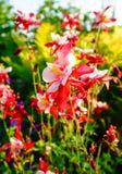 Flores do hobbit vermelho' do caerulea de Aquilegia ' Imagens de Stock Royalty Free