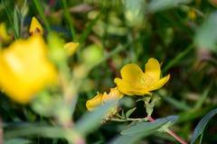 Flores do Hypericum, flores de florescência foto de stock royalty free