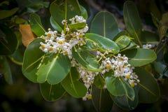 Flores do inophyllum do Calophyllum imagens de stock