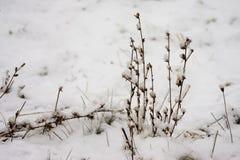 Flores do inverno cobertas com a neve Imagem de Stock