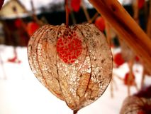 flores do inverno - physalis Fotografia de Stock Royalty Free