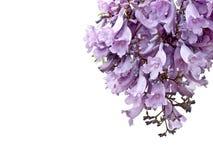 Flores do Jacaranda isoladas Imagem de Stock