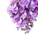 Flores do Jacaranda isoladas Imagens de Stock