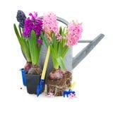 flores do jacinto com ferramentas de jardinagem Fotografia de Stock Royalty Free
