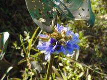 Flores do jacinto, jacinto fotografia de stock