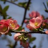 Flores do japonês do Chaenomeles Fotografia de Stock