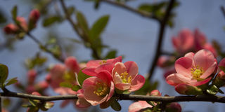 Flores do japonês do Chaenomeles Imagens de Stock