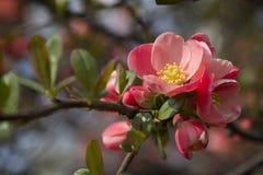 Flores do japonês do Chaenomeles Fotos de Stock