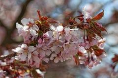 Flores do japonês sakura Flor de cerejeira da mola no jardim botânico Foto matizada Fotografia de Stock