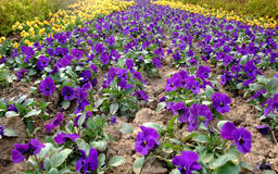 Flores do jardim Foto de Stock