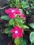 Flores do jardim Fotos de Stock Royalty Free
