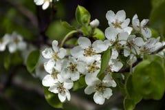 Flores do jardim da cereja em um ramo, mola, flor Fotos de Stock