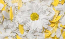 Flores do jardim sobre o fundo de madeira pintado da tabela contexto com espaço da cópia Flores bonitas no fundo de madeira Imagem de Stock Royalty Free