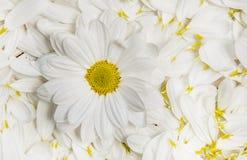 Flores do jardim sobre o fundo de madeira pintado da tabela contexto com espaço da cópia Flores bonitas no fundo de madeira Fotos de Stock Royalty Free