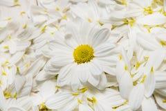Flores do jardim sobre o fundo de madeira pintado da tabela contexto com espaço da cópia Flores bonitas no fundo de madeira Fotografia de Stock Royalty Free