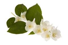 Flores do jasmim Fotografia de Stock Royalty Free