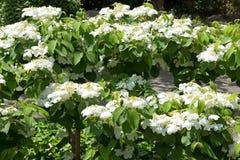 Flores do jasmim fotos de stock royalty free