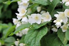 Flores do jasmim em um fundo das folhas verdes imagens de stock