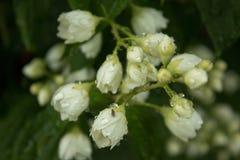 flores do jasmim nas gotas da chuva fotografia de stock