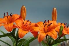 Flores do lírio após a chuva Imagem de Stock Royalty Free