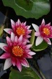 Flores do lírio de água Imagens de Stock