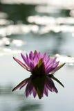Flores do lírio de água Imagem de Stock Royalty Free